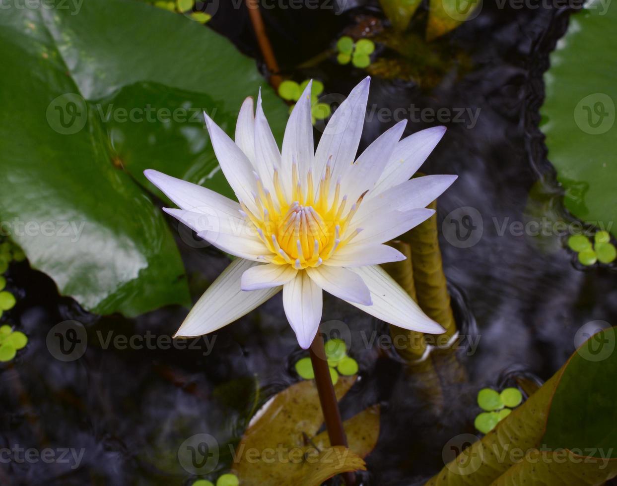 witte lotusbloem in het meer foto