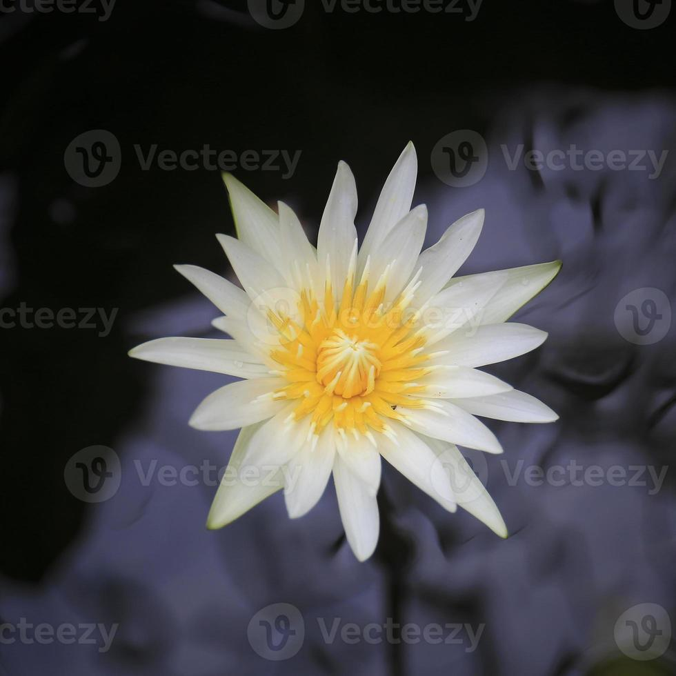 witte lotus op geïsoleerde zwarte achtergrond foto