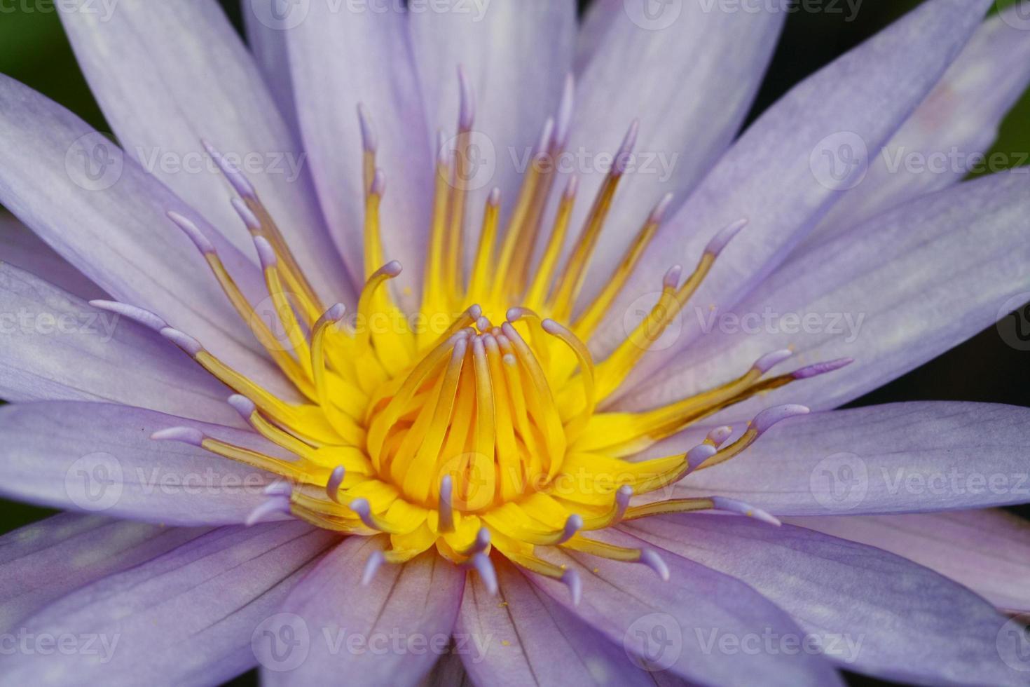 mooie roze waterlelie of lotusbloem in vijver foto