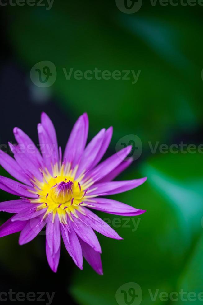 mooie gele en roze lotus close-up met wazige achtergrond foto