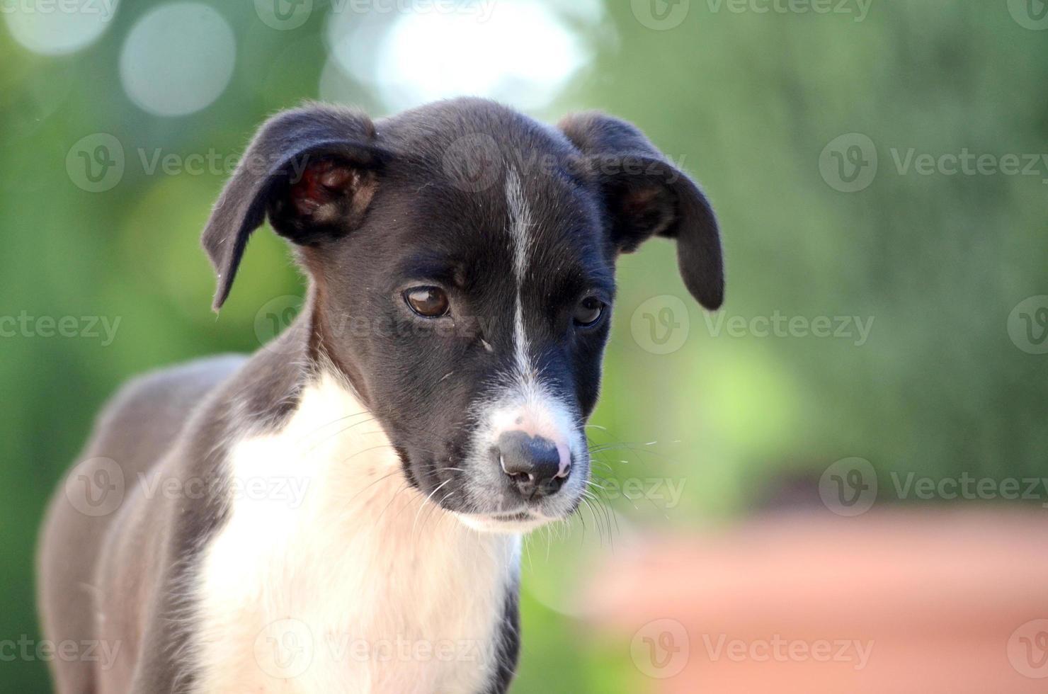 schattige puppy's van amstaffhond, dierenthema foto
