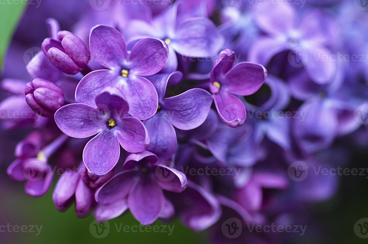 lila bloemen achtergrond foto