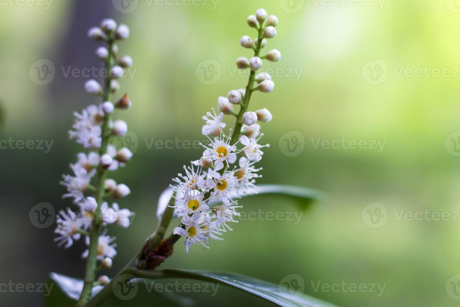 kirschlorbeer beginnt zu blühe- cherry laurier begint te bloeien foto