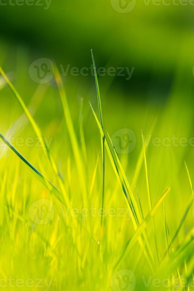 gras in het voorjaar foto