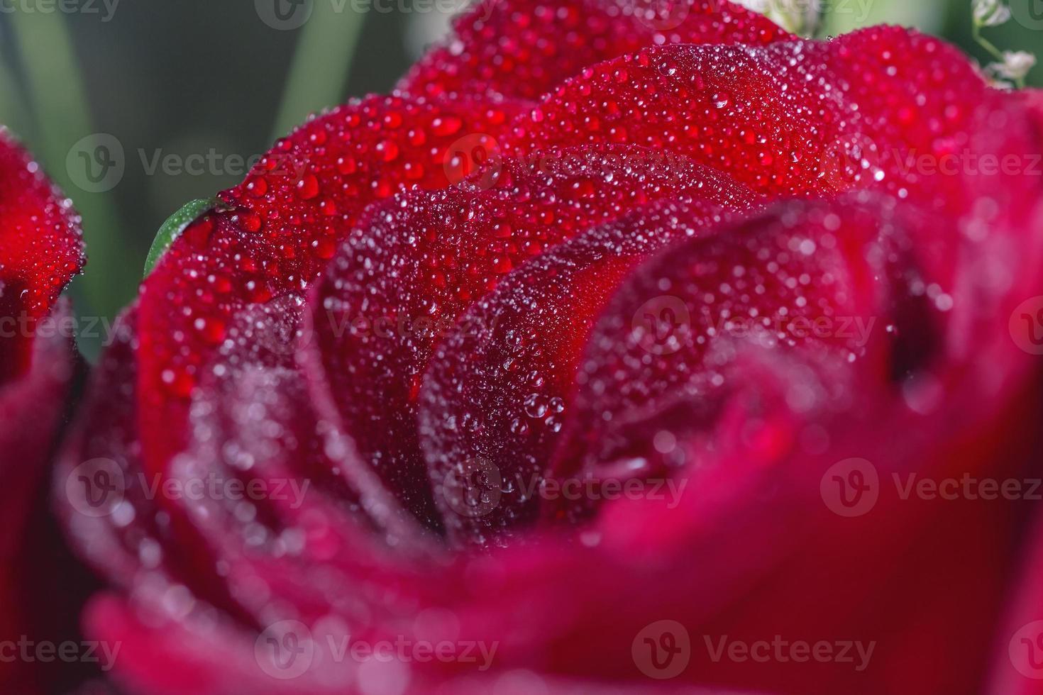 mooie multidrops op rode roos foto