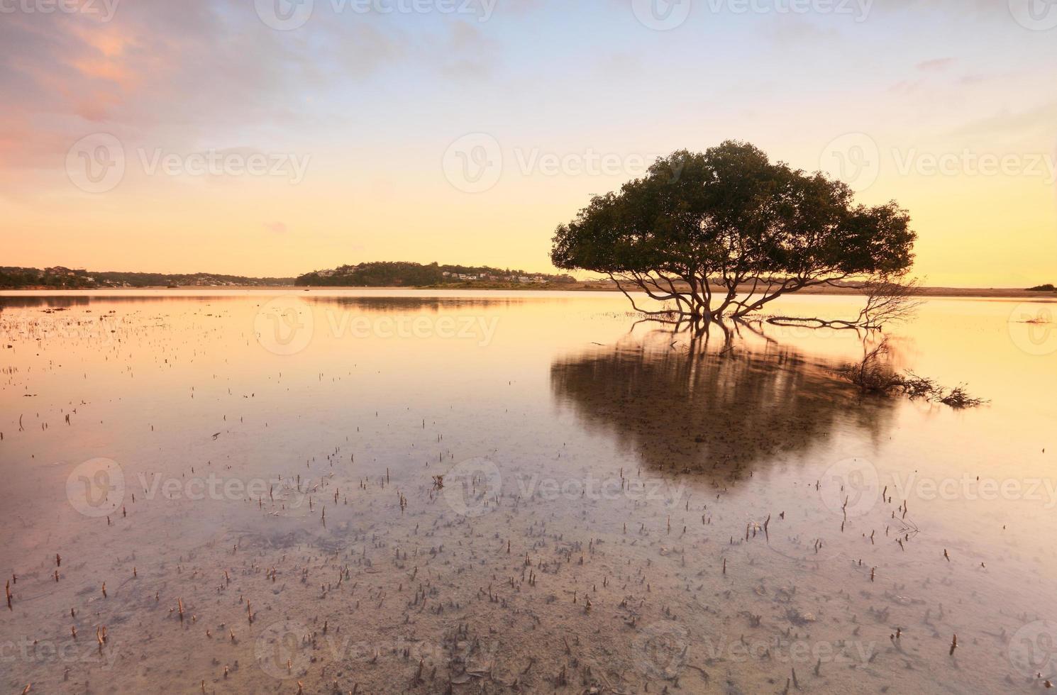 eenzame mangroveboom en wortels in getijde ondiepten foto