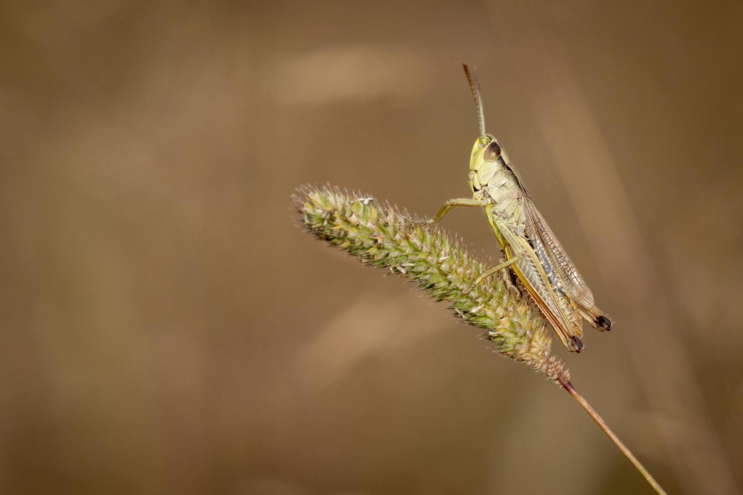 weide sprinkhaan op een sprietje gras foto