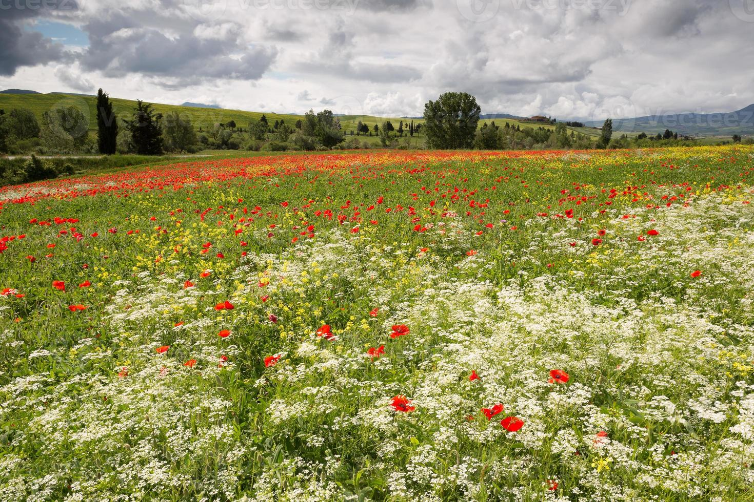 papavers en wilde bloemen in Toscane foto