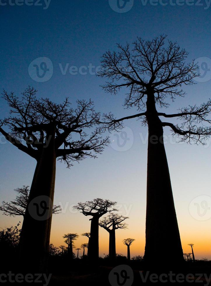 baobabs. ochtend. dageraad. Madagascar. foto