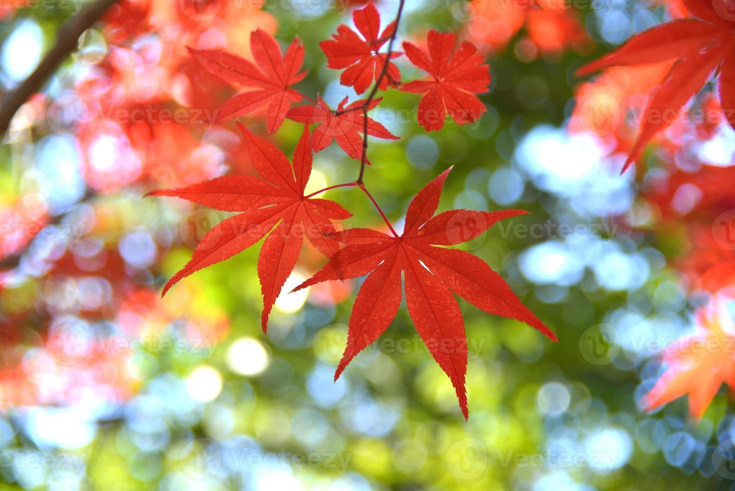 esdoorn gekleurde bladeren foto