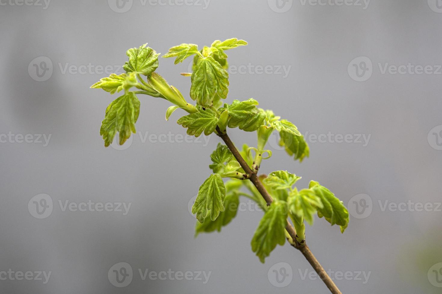 ontspruitende bladeren van veldesdoorn foto