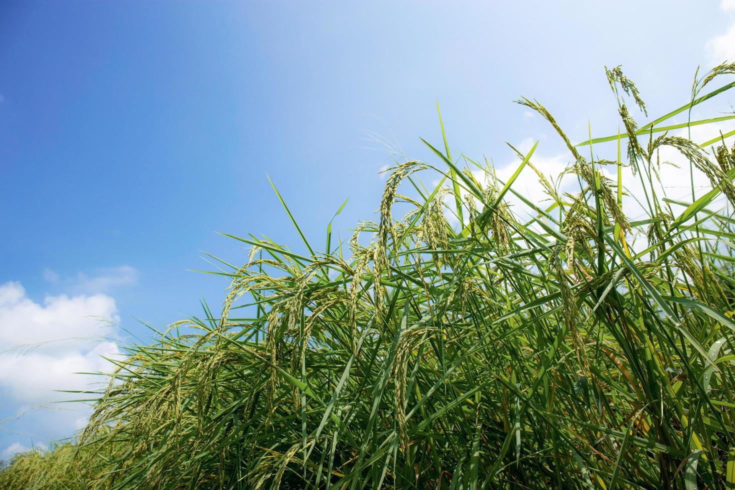 oren van rijst met blauwe hemel foto