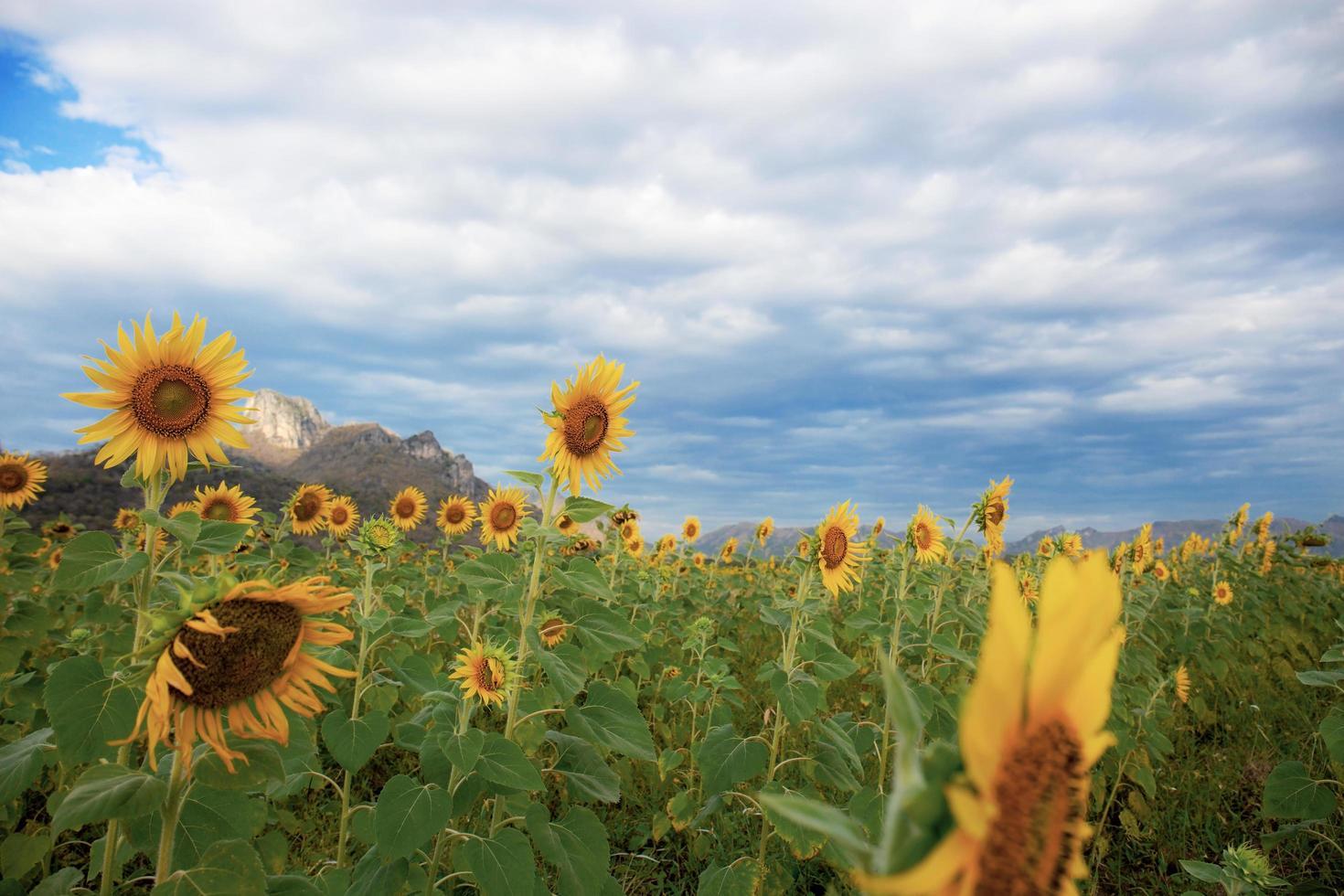 zonnebloemen op plantage foto
