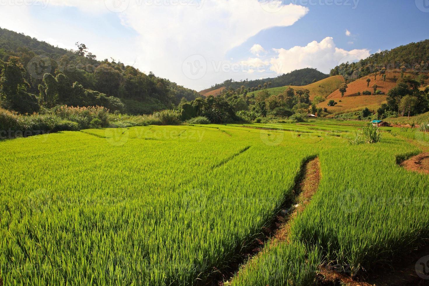 terras oogst rijstvelden in chaing mai foto