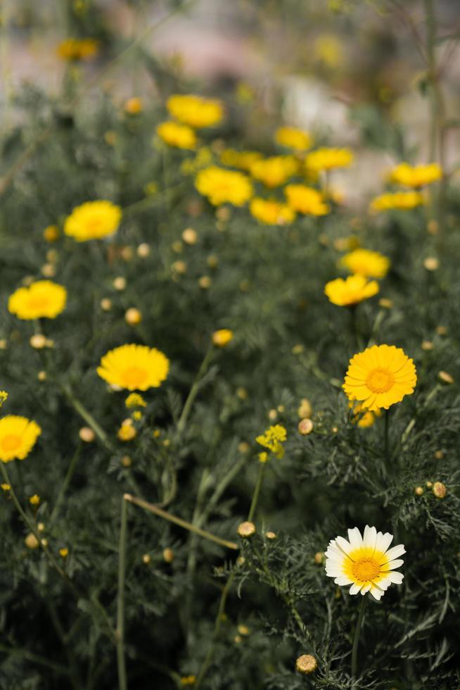 een veld met paardebloembloemen foto