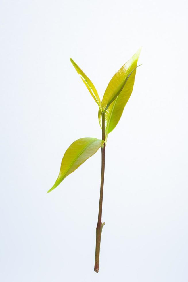 bladeren op witte achtergrond foto