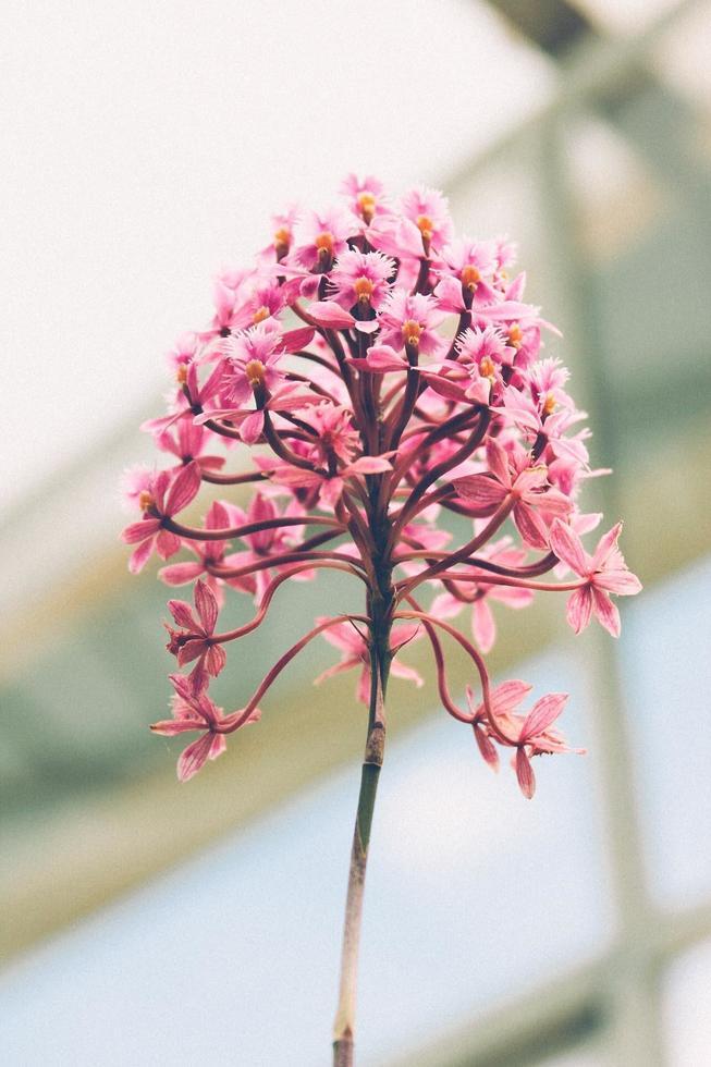 roze bloem bloeit foto