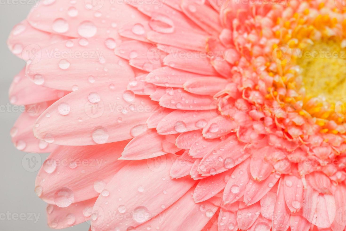 roze gerbera foto