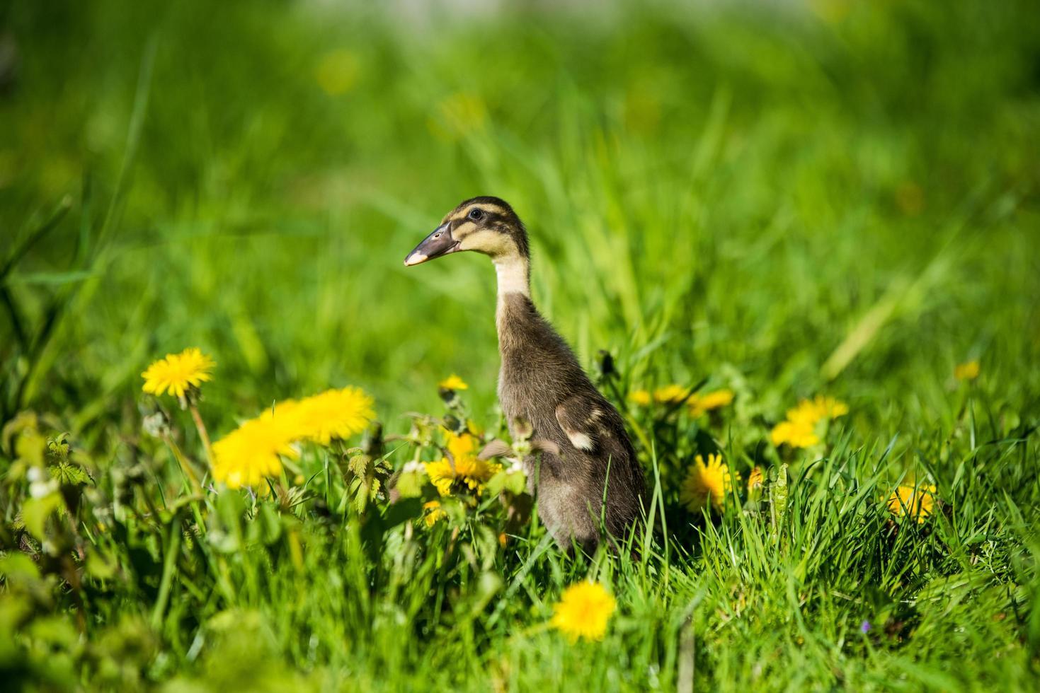 eendje zittend in groen gras foto