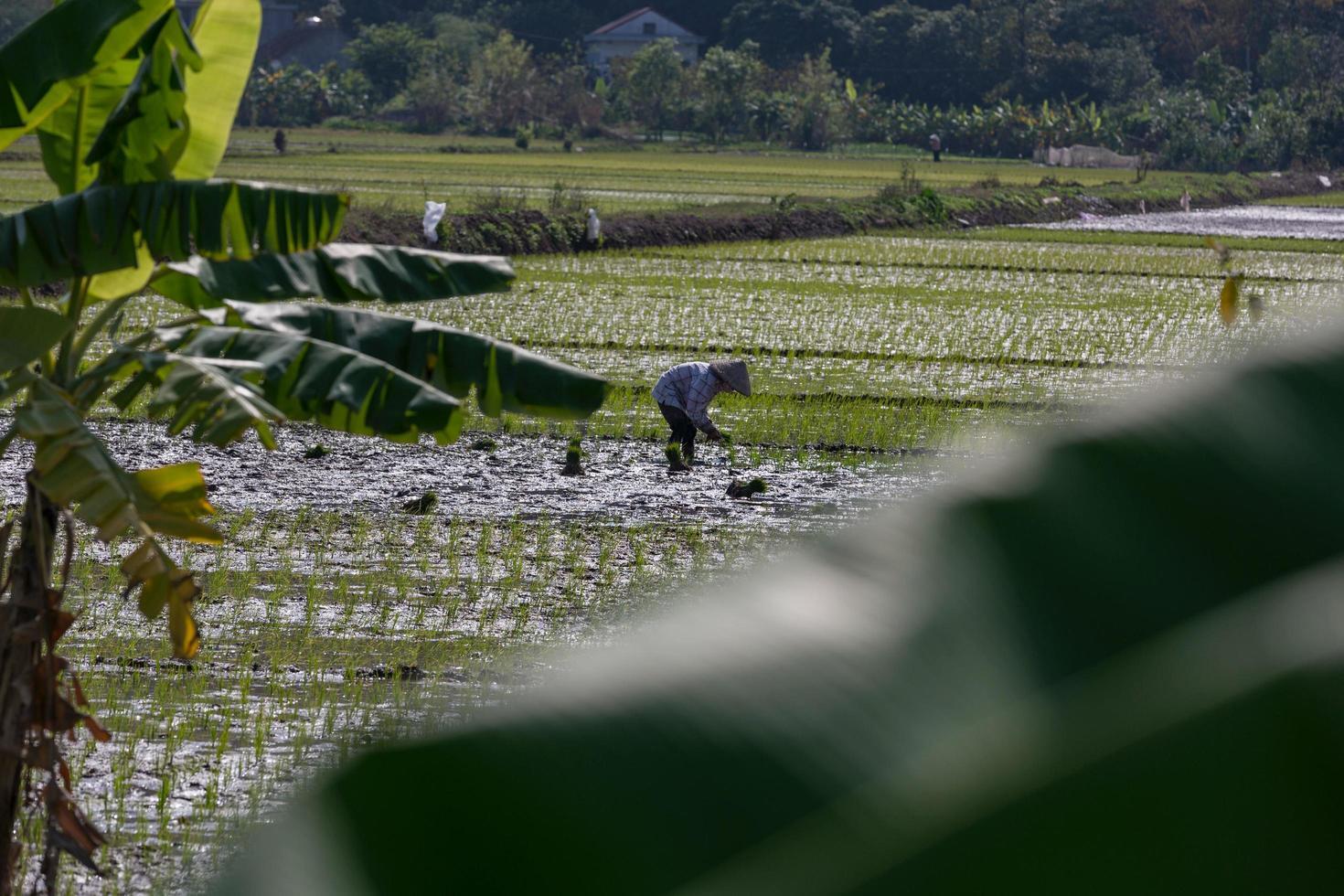 thanh pho ninh binh, vietnam, 2017- een vrouw die rijst plant in een veld foto