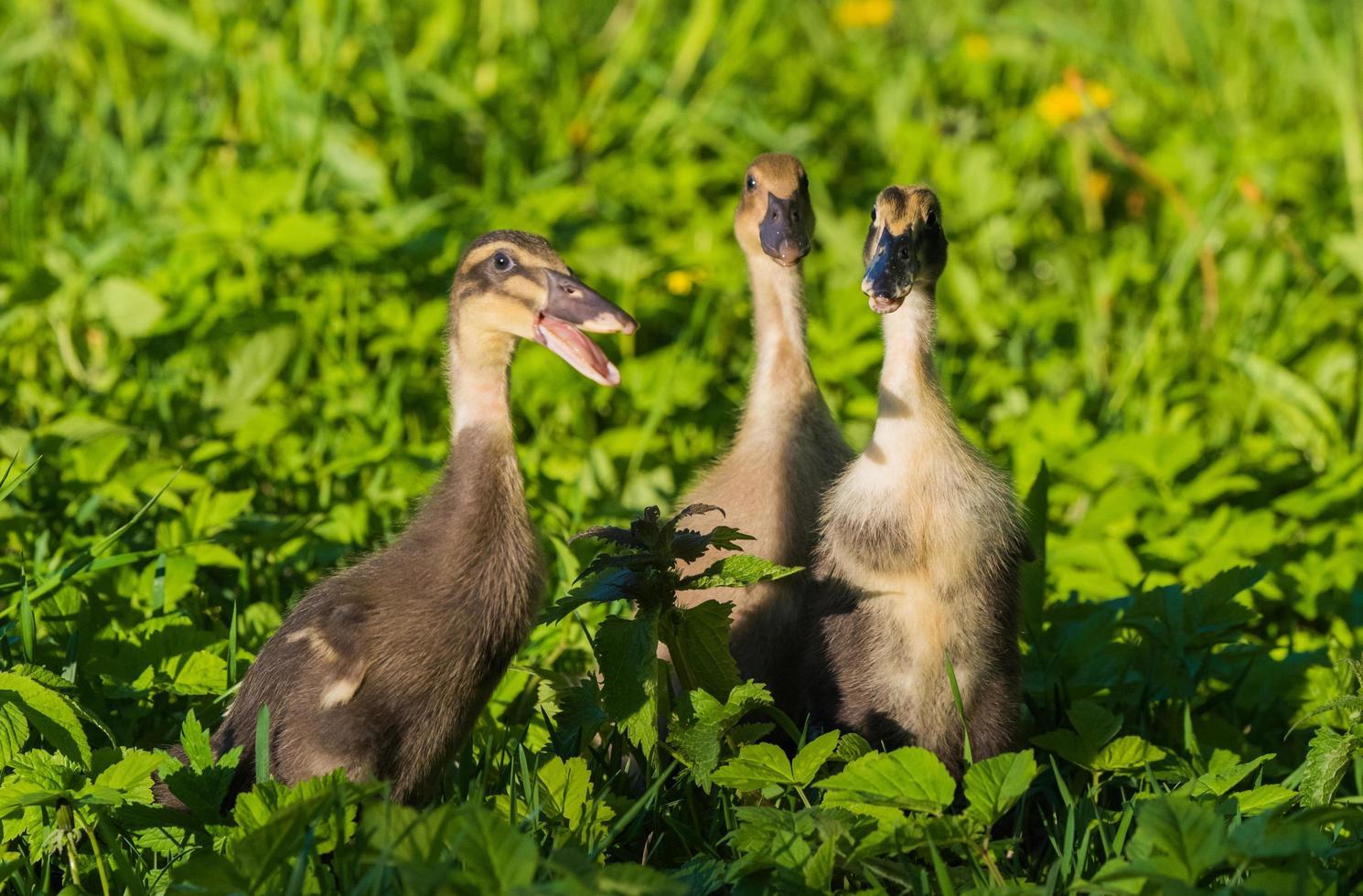 drie eendjes in gras foto