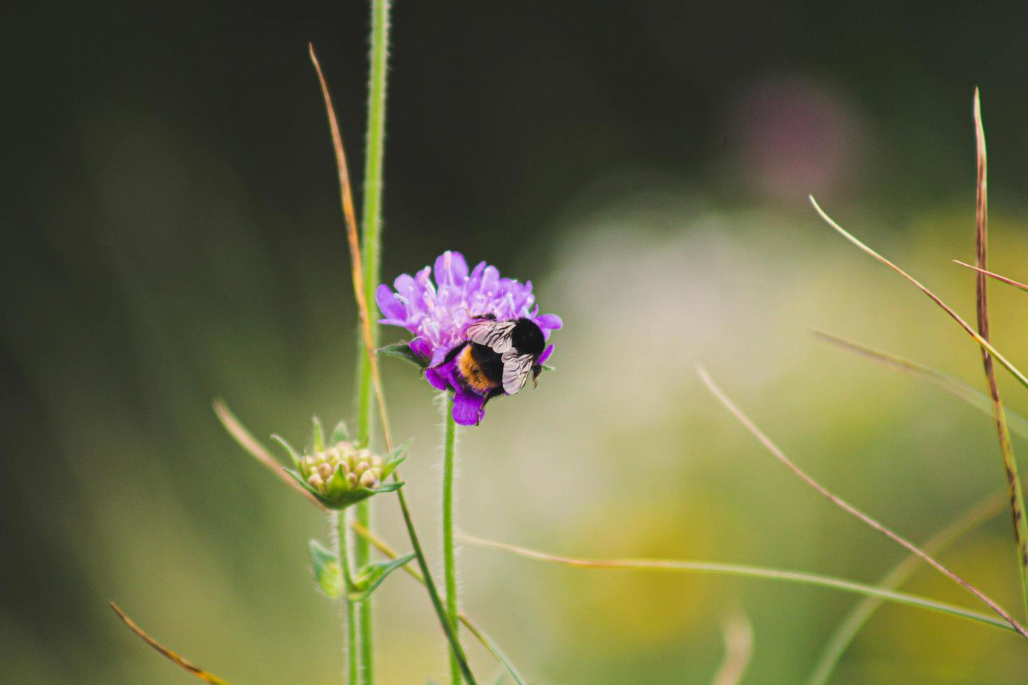 bij op paarse bloem foto
