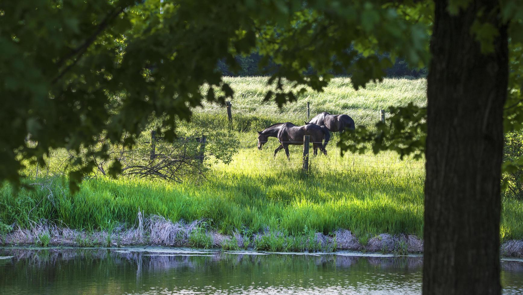 uitzicht door de bomen van zwarte paarden op groen gras foto