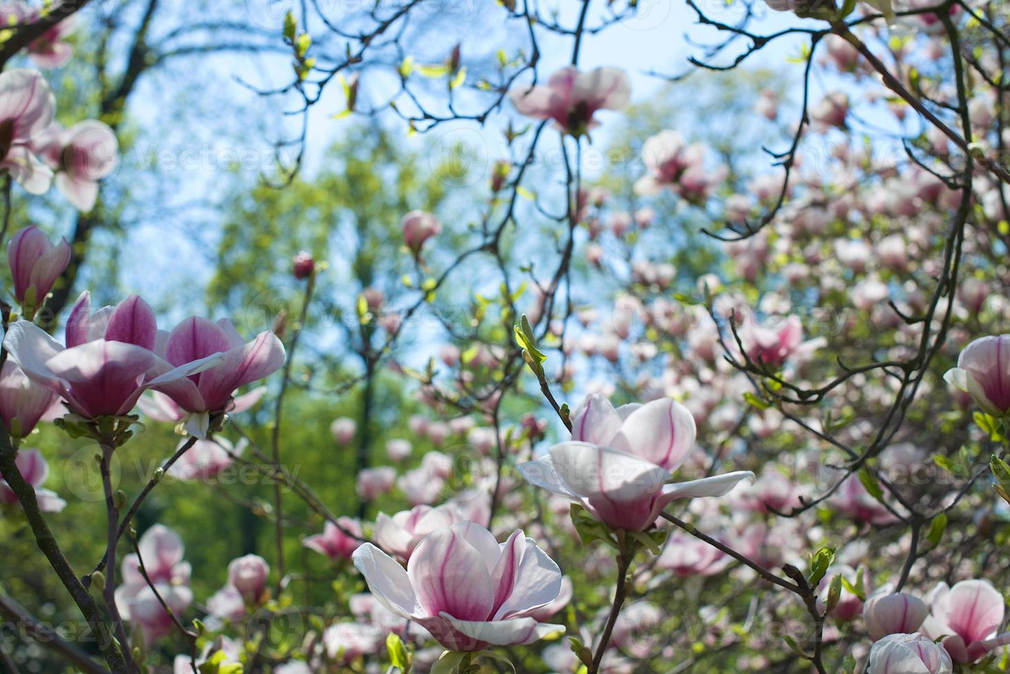 magnolia bloem boom in bloei foto