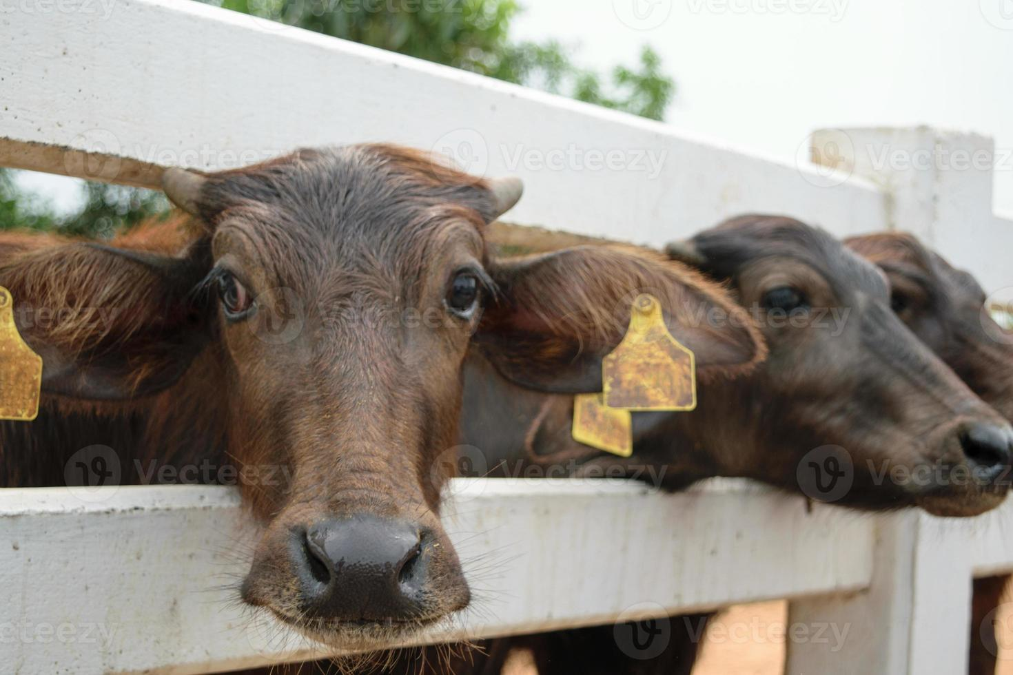 murrah buffel foto