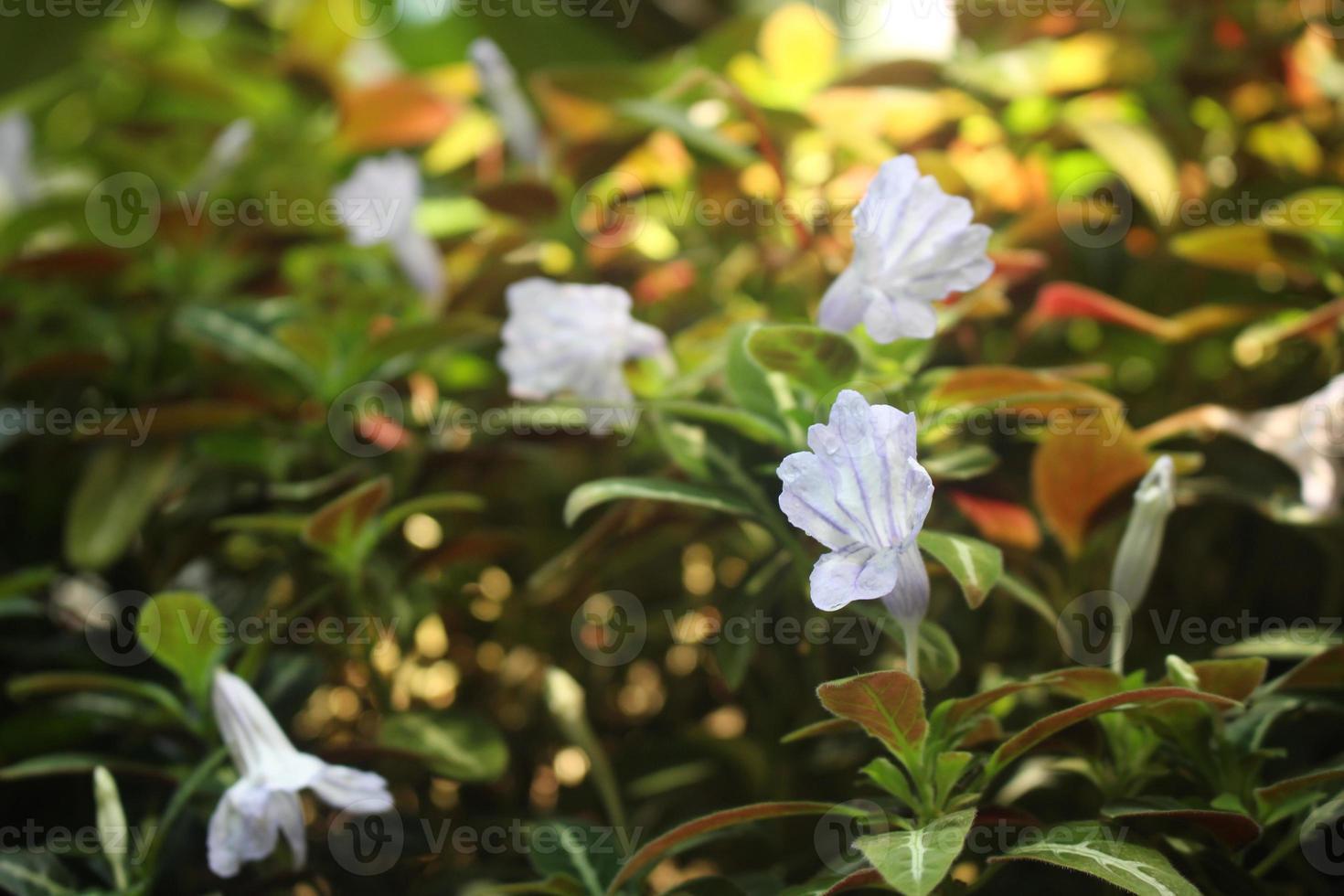 mooie wit / paarse bloemen met wazige pagina foto