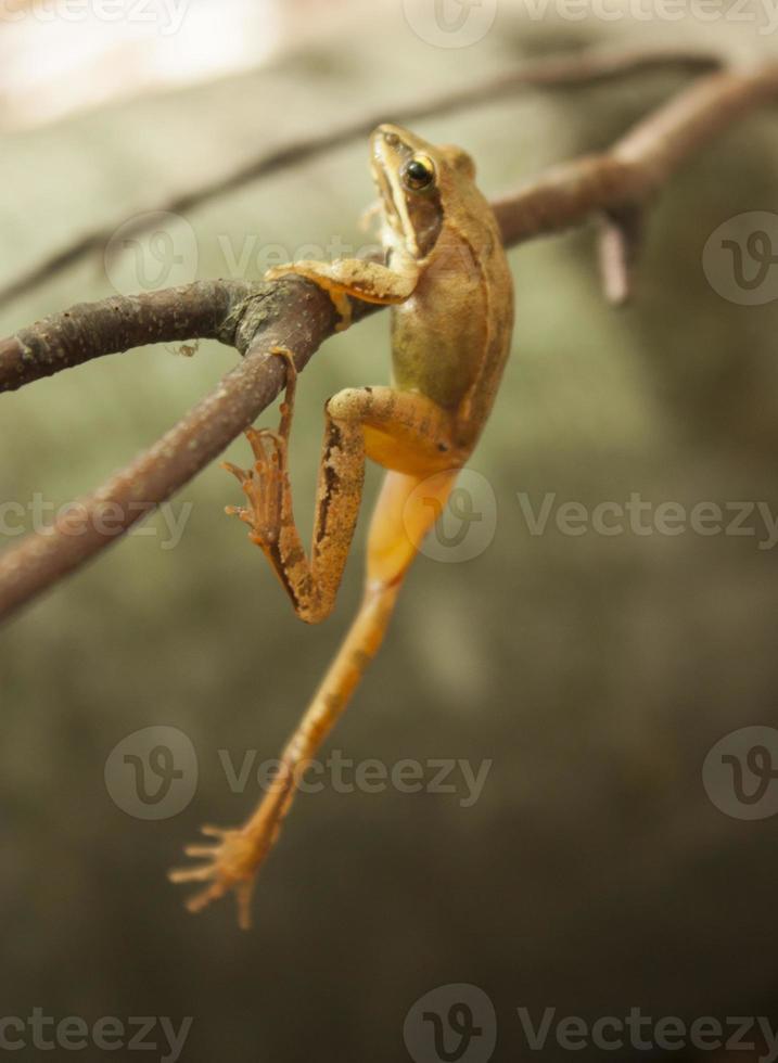 griekse stroomkikker (rana graeca) foto