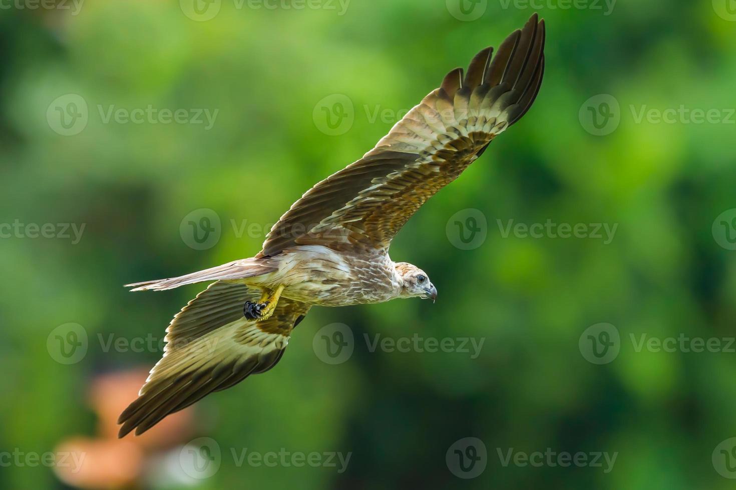 jonge close up van brahmaanse vlieger foto