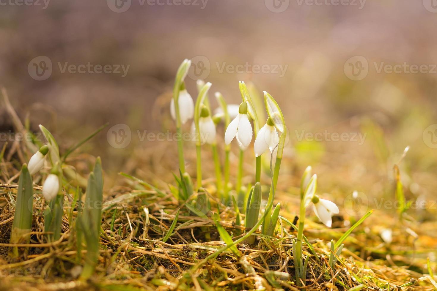 witte sneeuwklokjes in de lente regendruppels foto