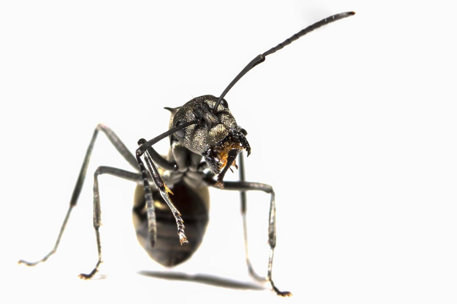 zwarte mier op witte achtergrond foto
