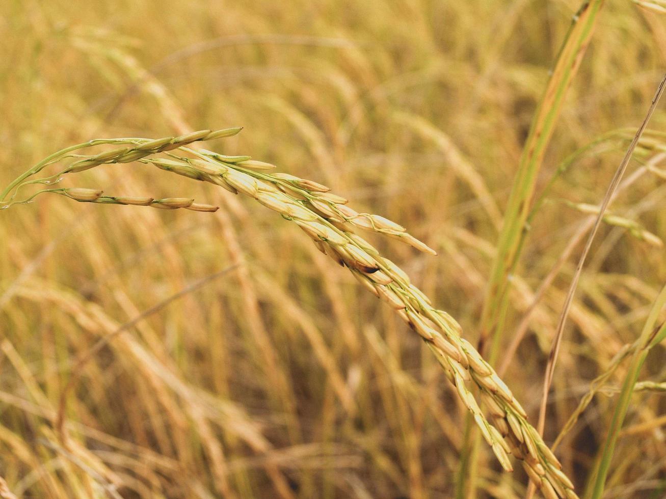 rijpe oogst van gouden rijst foto