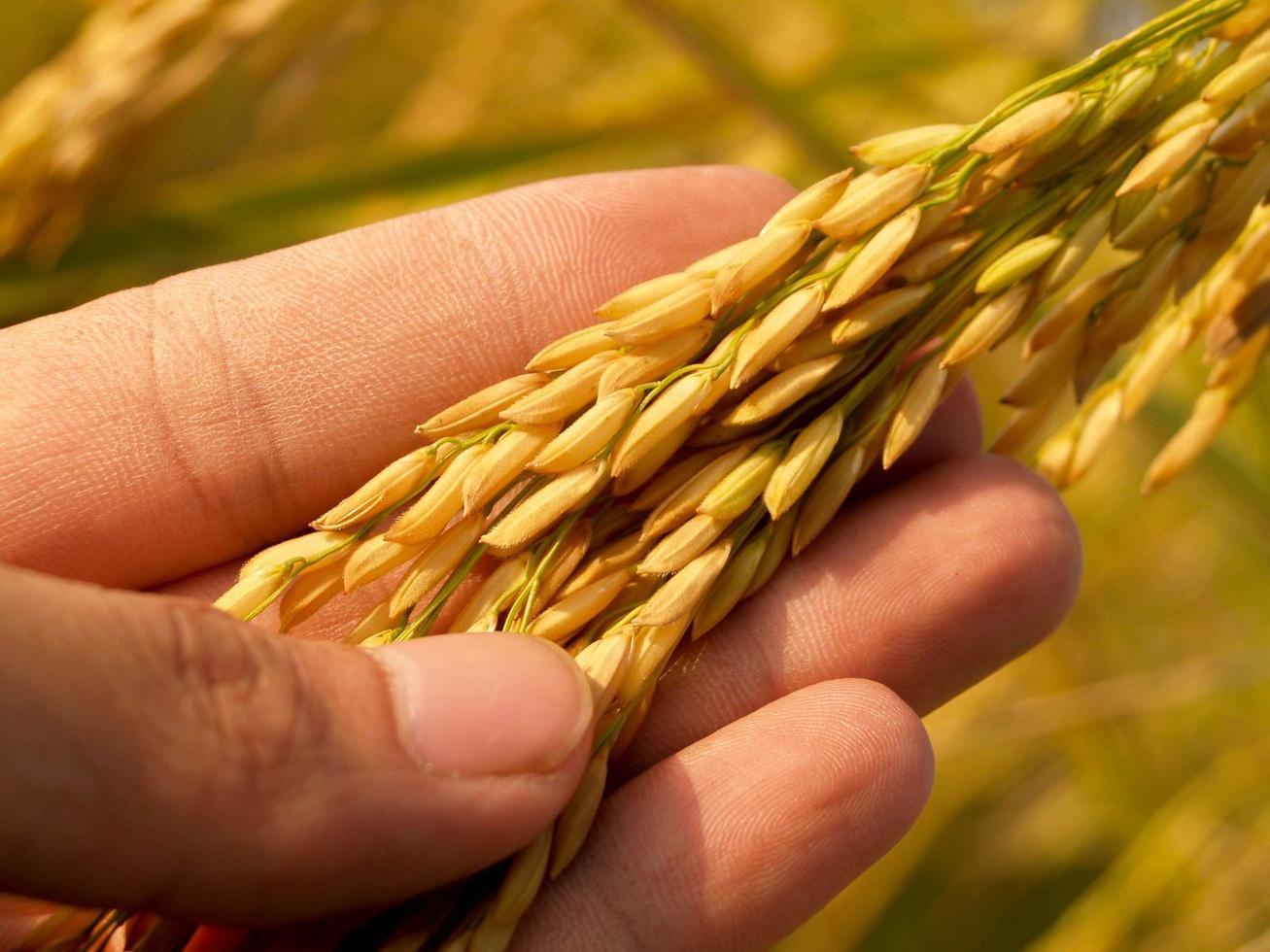 hand met volwassen gouden rijst foto