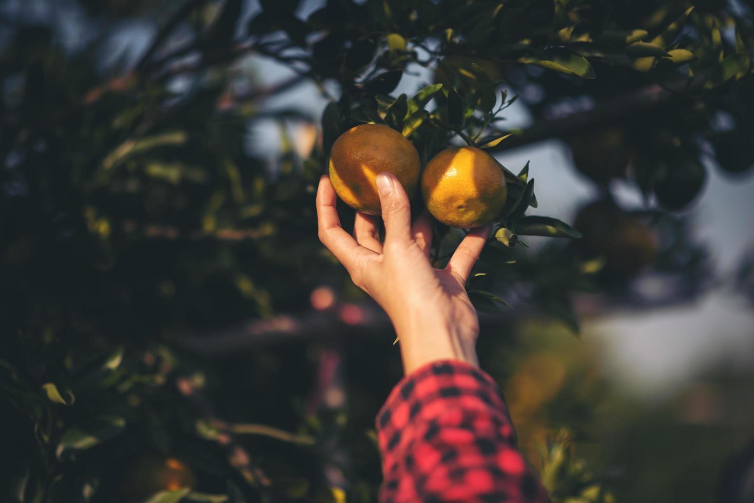 hand met verse sinaasappelen in de zon foto
