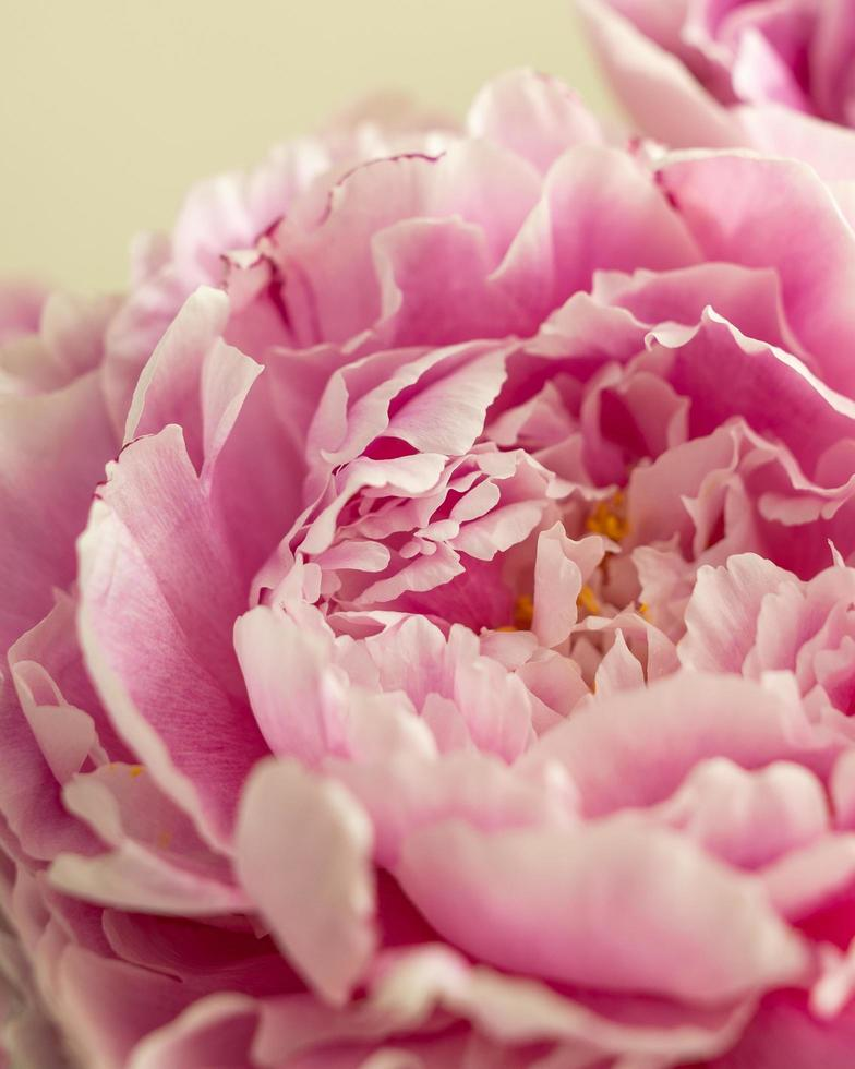 close-up van een roze pioen foto