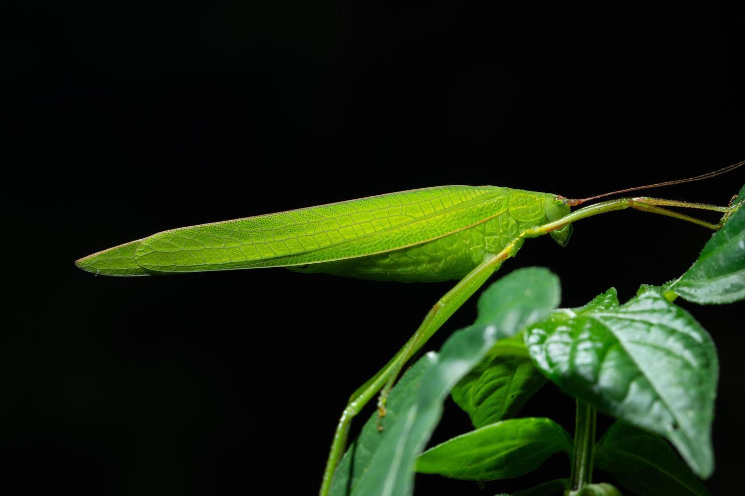 groene sprinkhaan op een blad foto