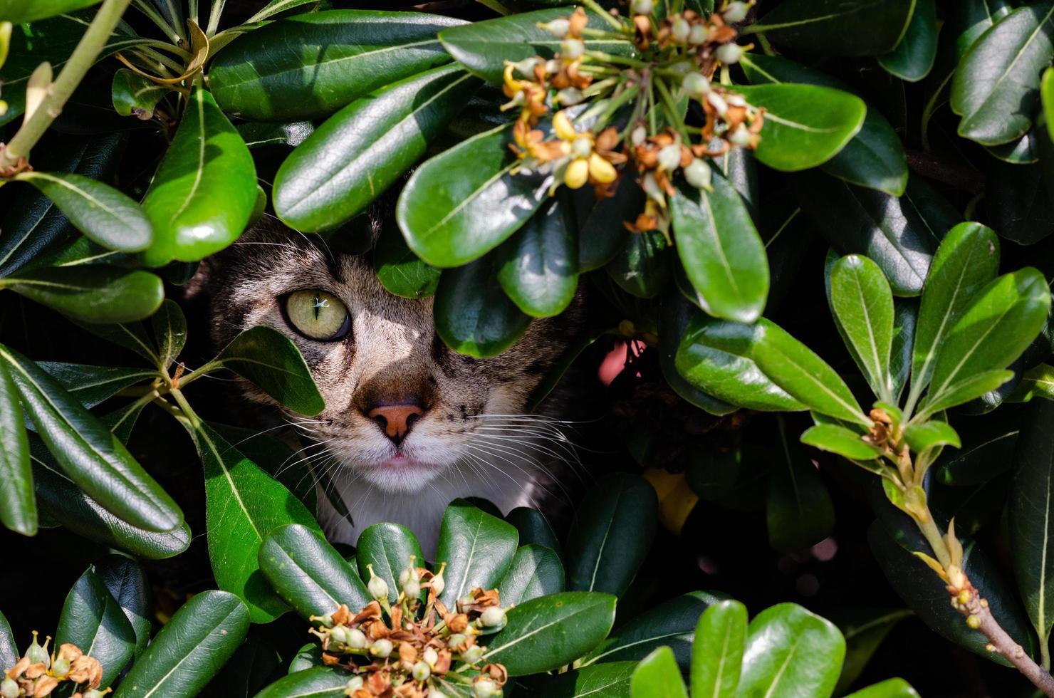 kat verstopt in de bush foto