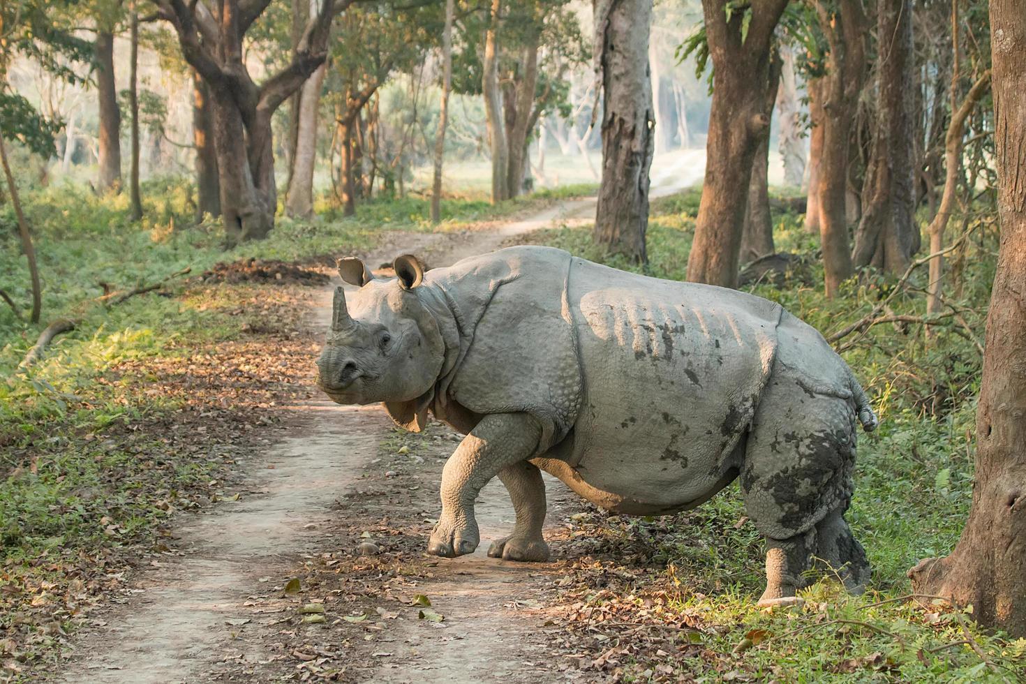 neushoorn bij het lopen over een weg foto