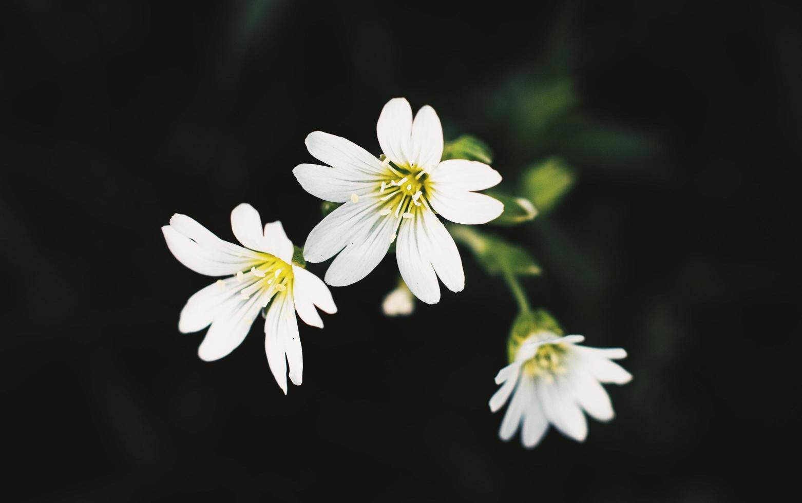 witte bloemen op een zwarte achtergrond foto