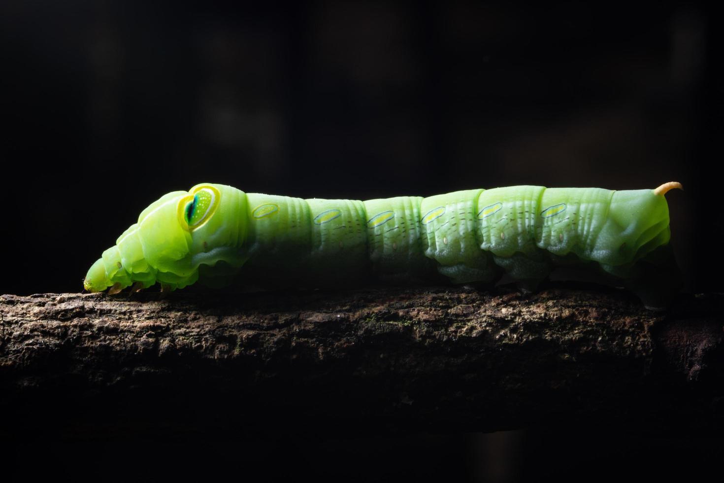 groene worm op een tak foto