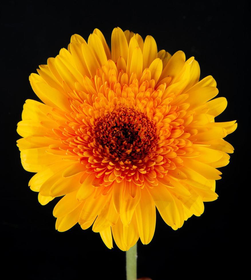 close-up van een gele bloem geïsoleerd op een zwarte achtergrond foto