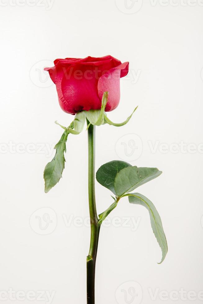 rode roos op een witte achtergrond foto