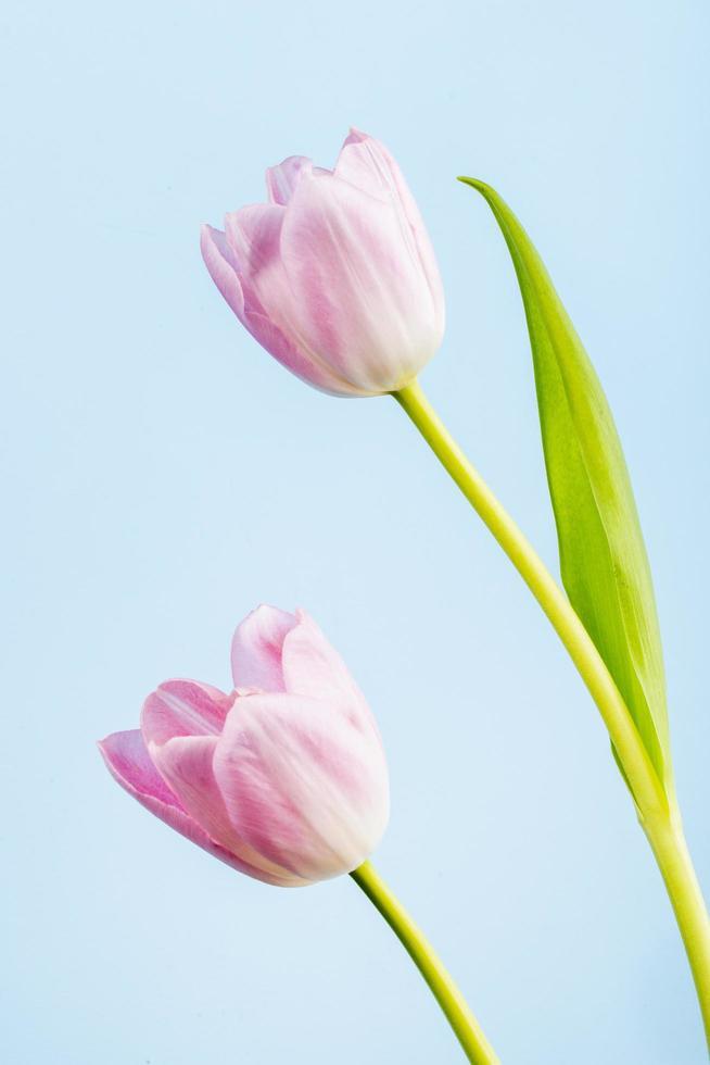 roze tulpen op een blauwe achtergrond foto