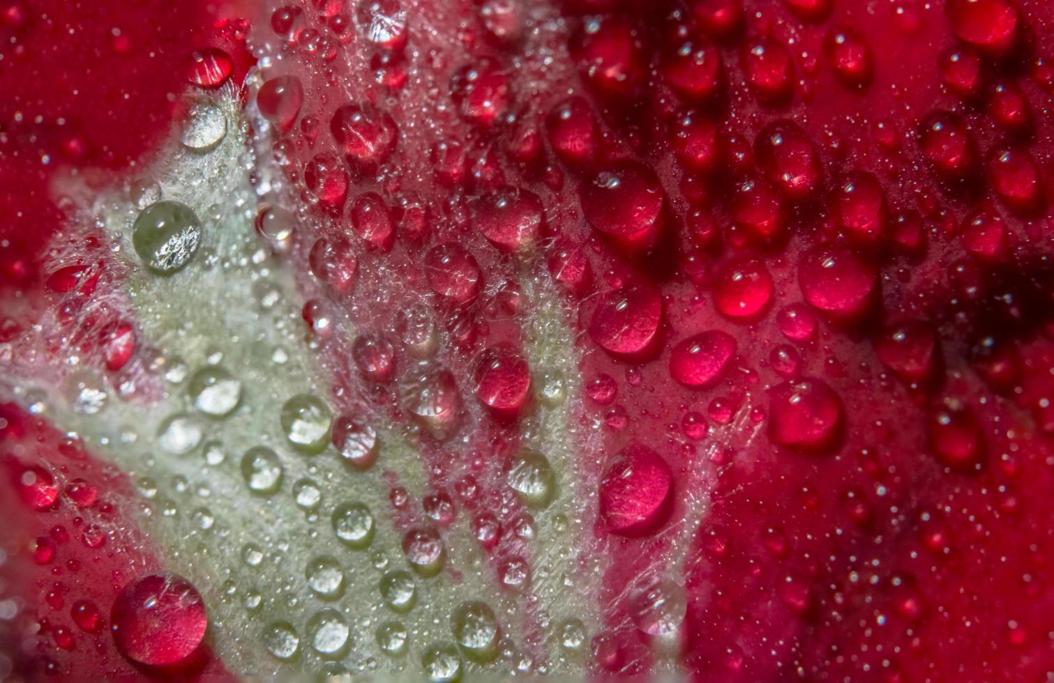 waterdruppels op een rode roos foto