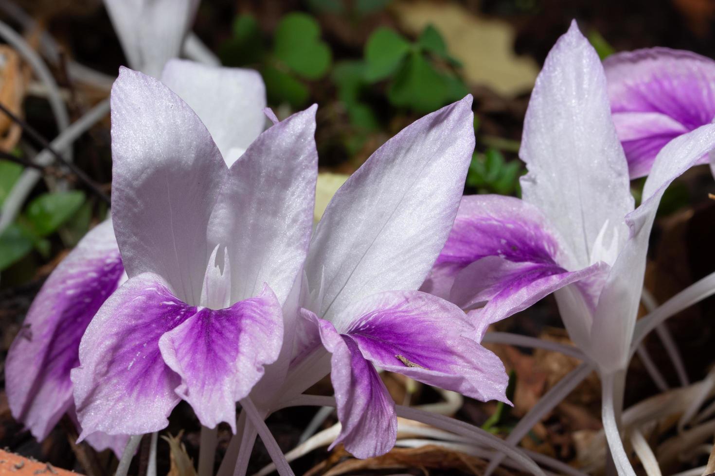 witte en paarse bloemachtergrond foto