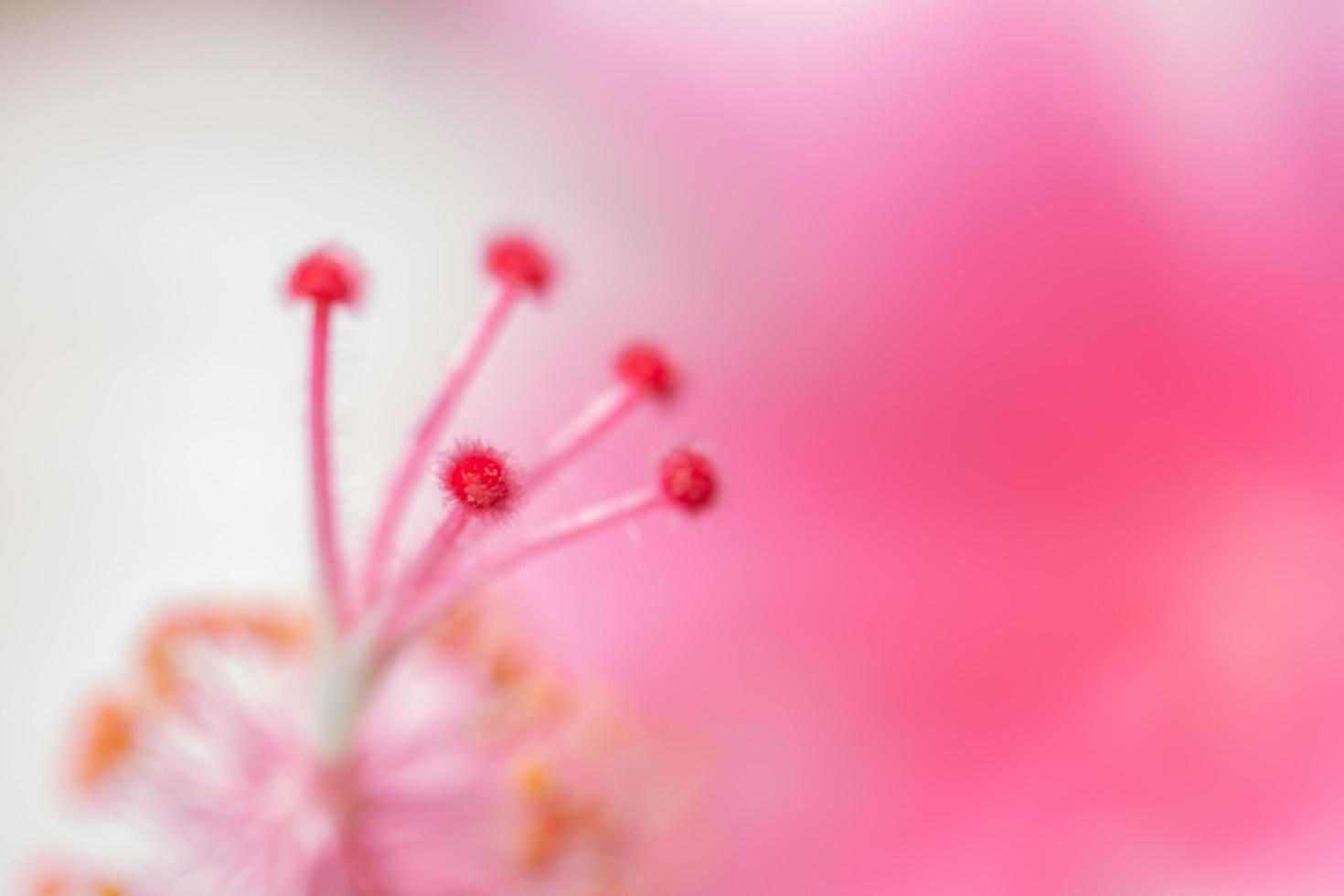 roze stuifmeel close-up, onscherpe achtergrond foto