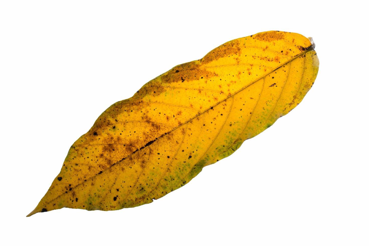droog blad op witte achtergrond foto
